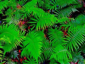 シェーンブロック(PLエキス/シェードファクター)の成分 シダ植物