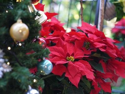 クリスマス ポインセチア 起源・由来・意味