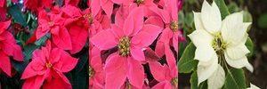 ポインセチア 花言葉 赤・ピンク・白