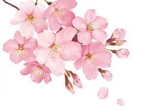 桜 イラスト リアル 本物 無料 フリー