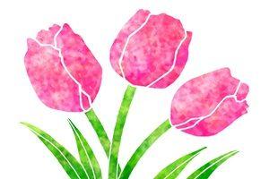 チューリップ イラスト 水彩画 おしゃれ かわいい 無料 フリー